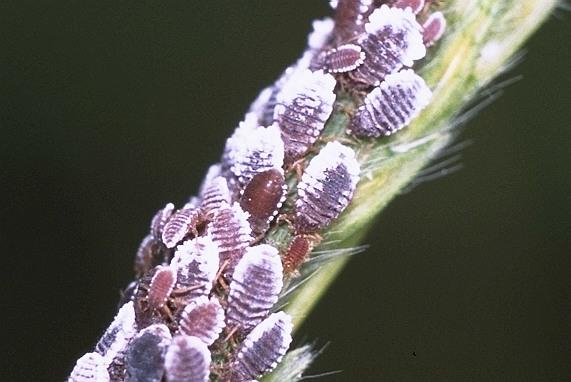 エゴノネコアシアブラムシ