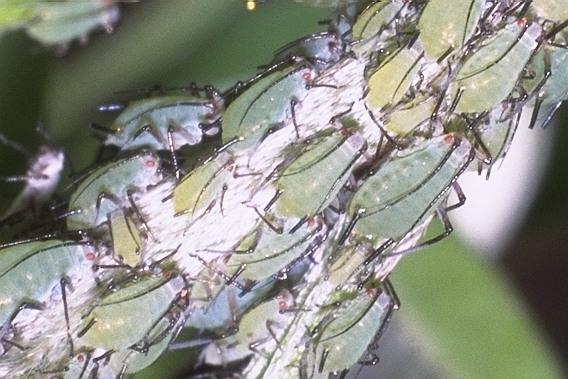ハギオナガヒゲナガアブラムシ