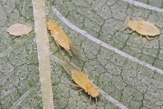 ケヤキヒゲマダラアブラムシ