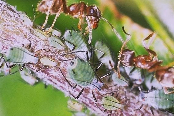 クワヤマヒメヒゲナガアブラムシ