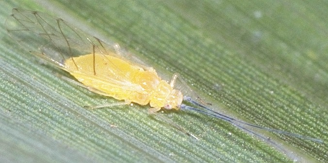タケヒゲナガブチアブラムシ
