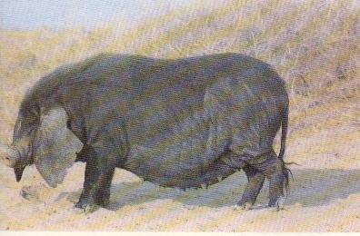 黄淮海黒豚