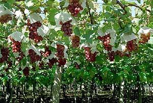 果樹園(ぶどう)の画像