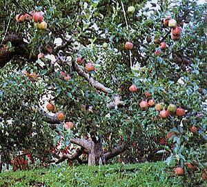 果樹園(りんご)の画像