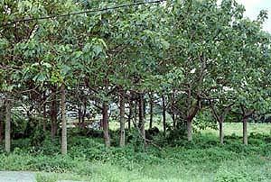 その他の樹木畑
