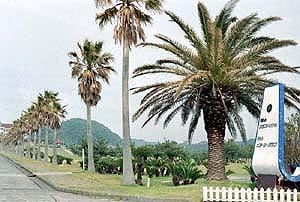 ヤシ科樹林