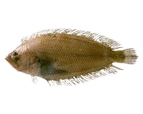 コケビラメ