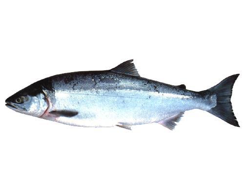 ベニザケはどんな魚?Weblio辞書