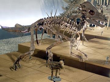 パキケファロサウルスの一種