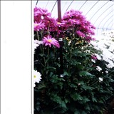 チャトーはどんな植物?Weblio辞書