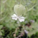 シラユキヒメはどんな植物?Weblio辞書