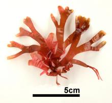 マサゴシバリ 生標本写真