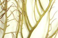 シラモ 枝拡大写真