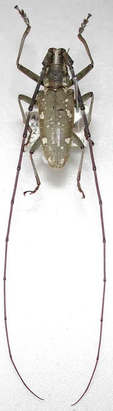 アマミキボシカミキリ