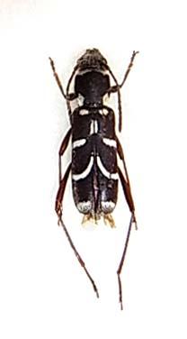 アマミズマルトラカミキリ徳之島亜種