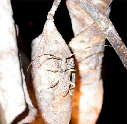 アナバネヒゲナガカミキリ