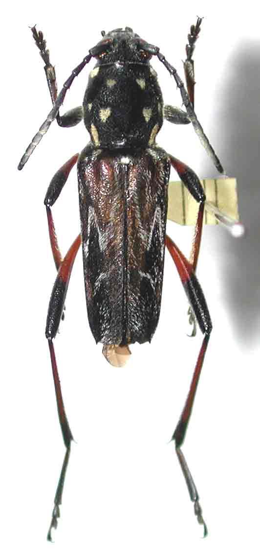 ムネマダラトラカミキリ八丈島亜種