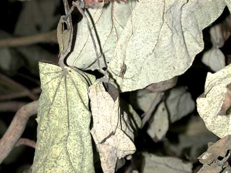 ハヤシサビカミキリ