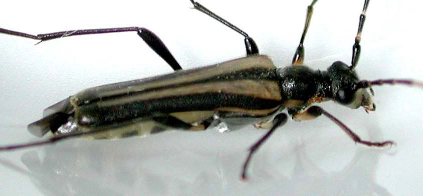 ヘリグロホソハナカミキリ