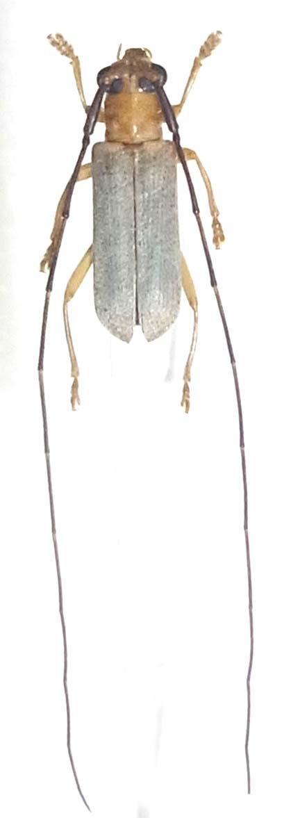 ヒゲナガウスシロカミキリ