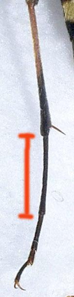 ヒメヨツスジハナカミキリ