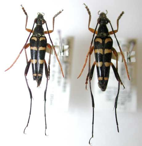 ヒメヨツスジハナカミキリ四国亜種