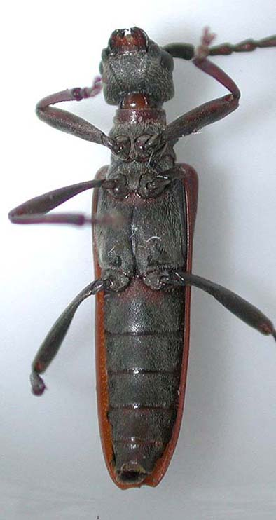 ヒラヤマコブハナカミキリ