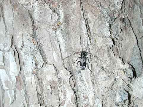ヒトオビアラゲカミキリ