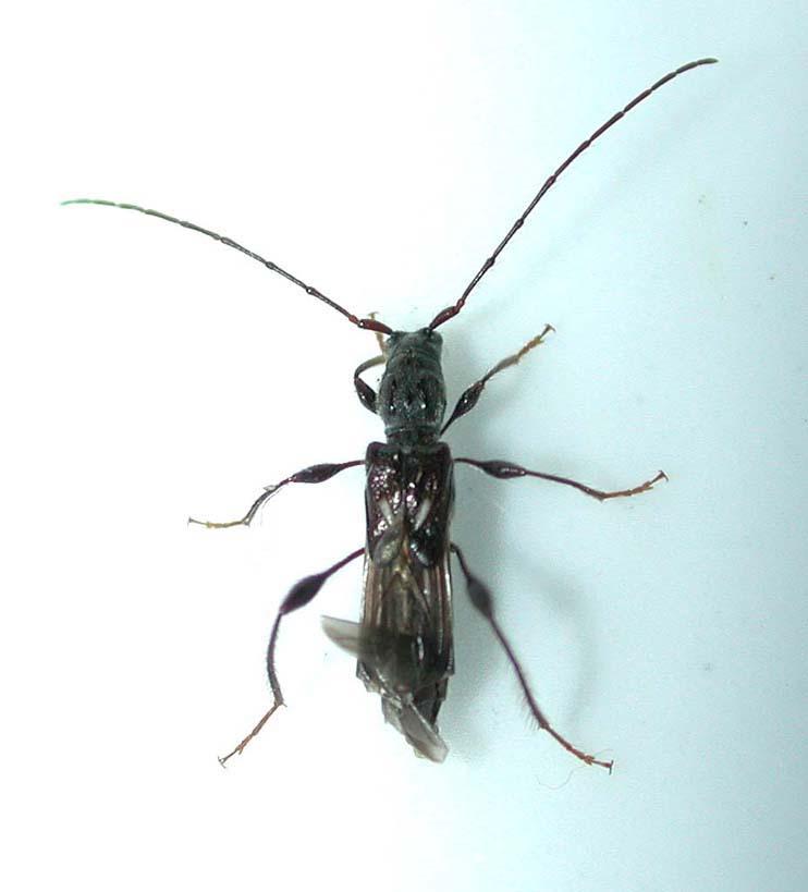 ホソムネシラホシヒゲナガコバネカミキリ