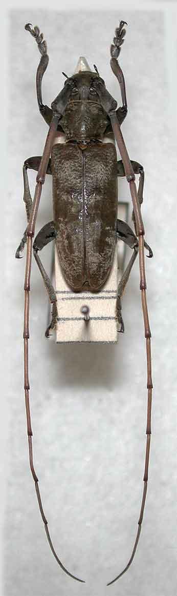 イチョウヒゲビロウドカミキリ