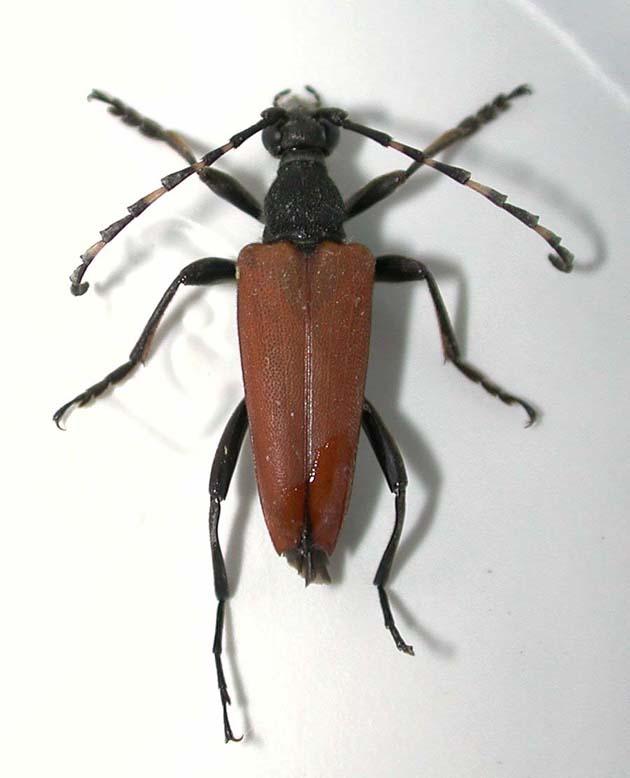 イガブチヒゲハナカミキリ