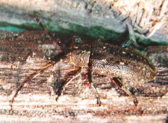 イリエシラホシサビカミキリ
