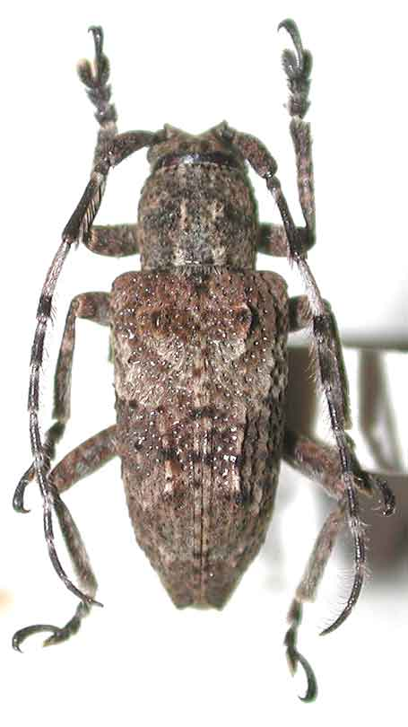 イリオモテコブバネサビカミキリ