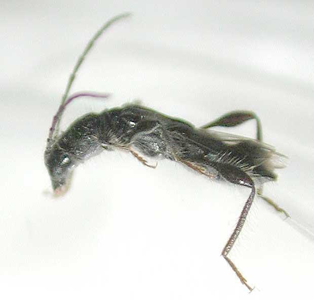 カエデヒゲナガコバネカミキリ