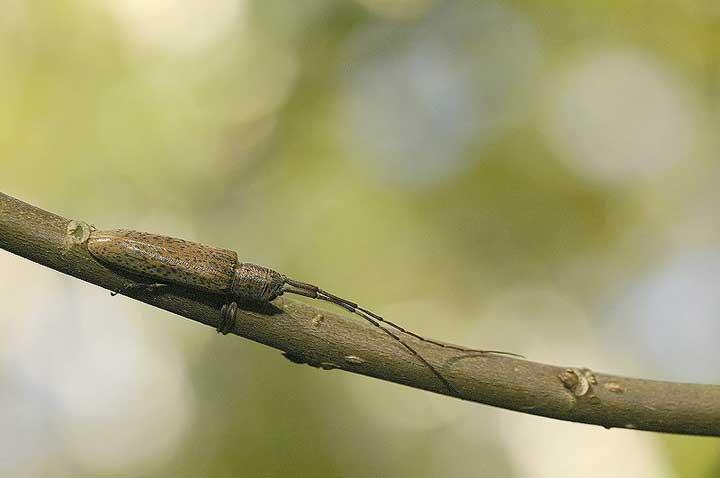 カスリドウボソカミキリ