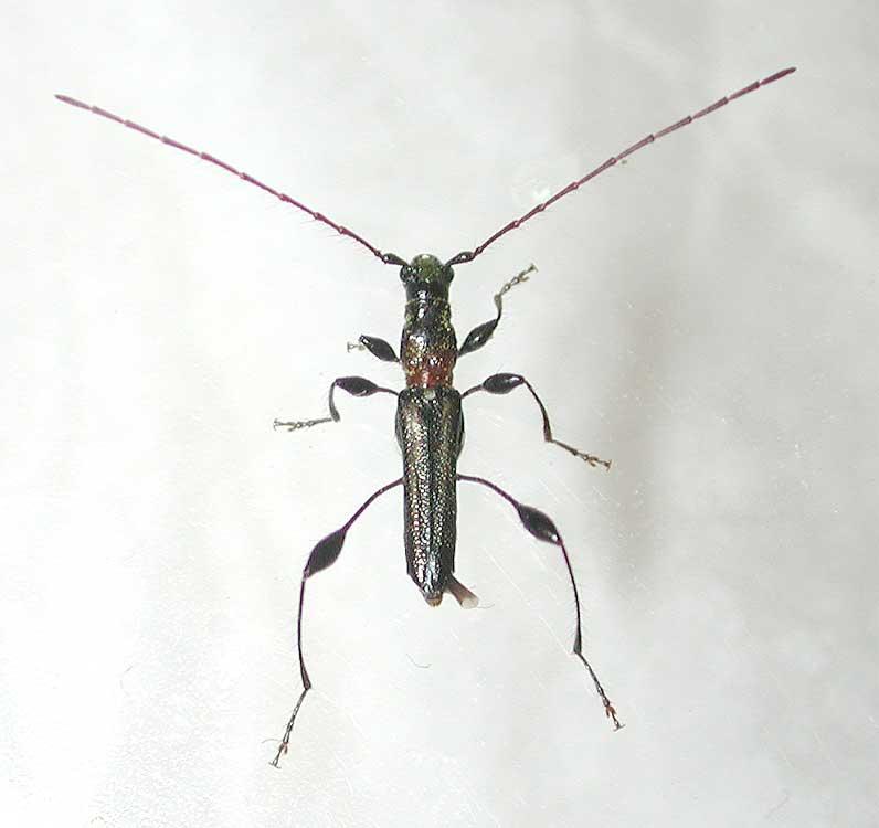 ケナガカミキリ