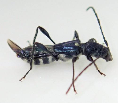 コバルトヒゲナガコバネカミキリ