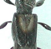 コジマヒゲナガコバネカミキリ