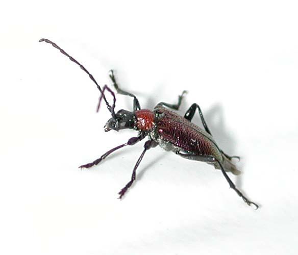 クビアカハナカミキリ