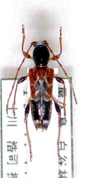 クマゲアラカワシロヘリトラカミキリ