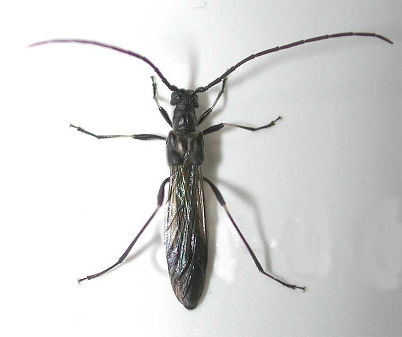 クロホソコバネカミキリ