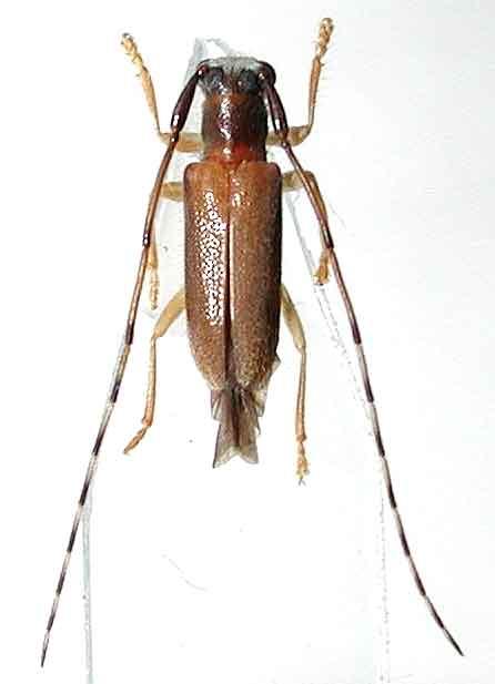 クロモンヒゲナガヒメルリカミキリ