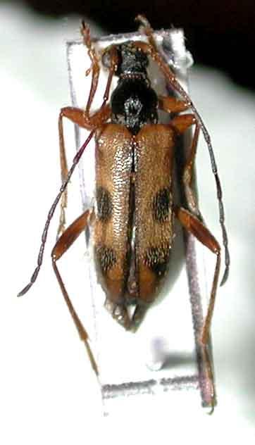 イヨヒメハナカミキリ(九州・西中国亜種)