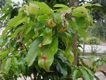 ミヤコリンゴカミキリ