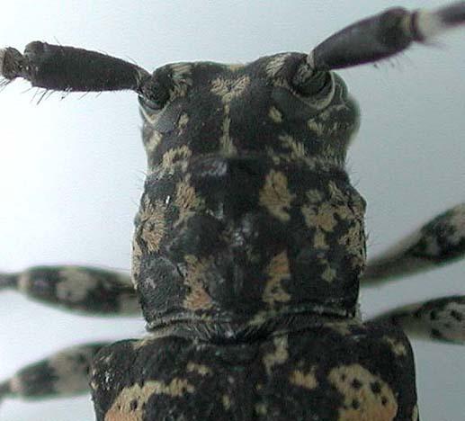 ムネコブゴマフカミキリ
