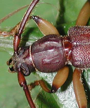 ムネスジウスバカミキリ九州南部亜種