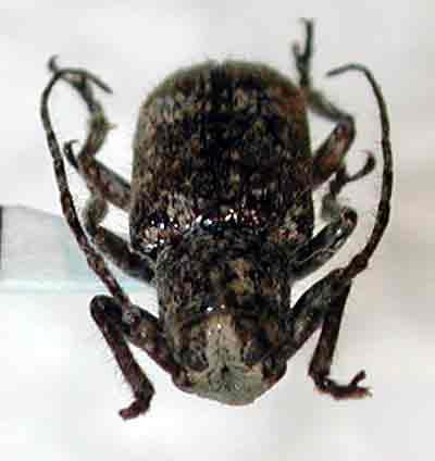 ムラヤマムネコブサビカミキリ
