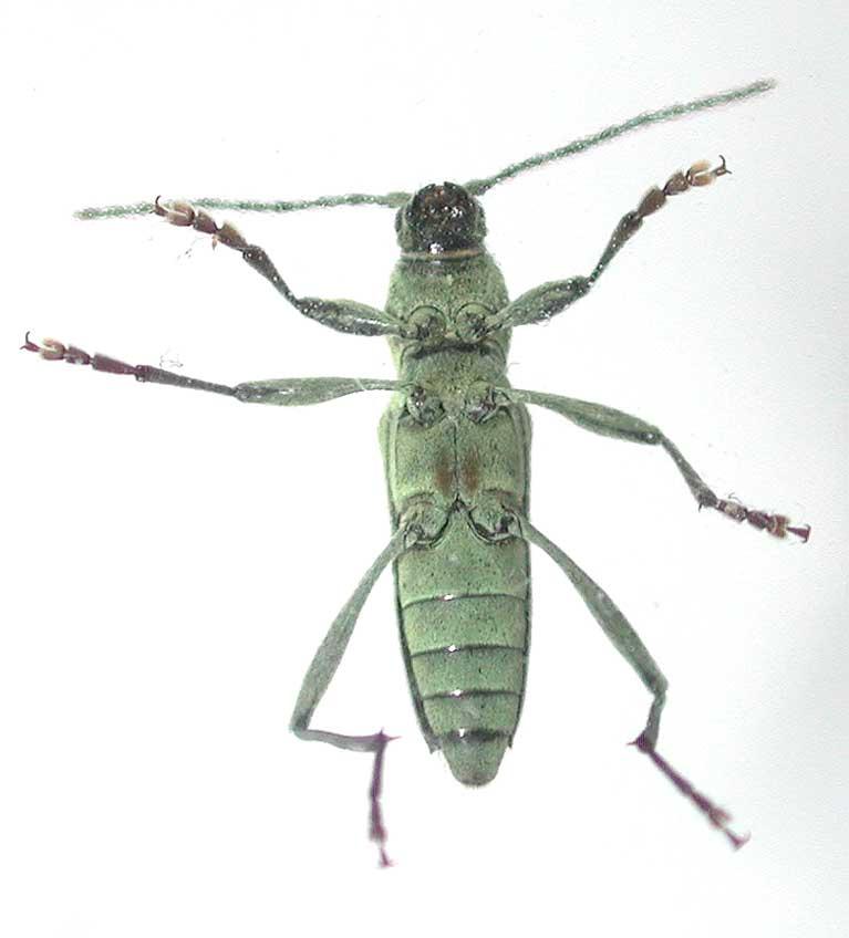ムツボシアオコトラカミキリ