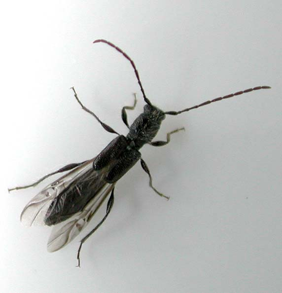 オダヒゲナガコバネカミキリ