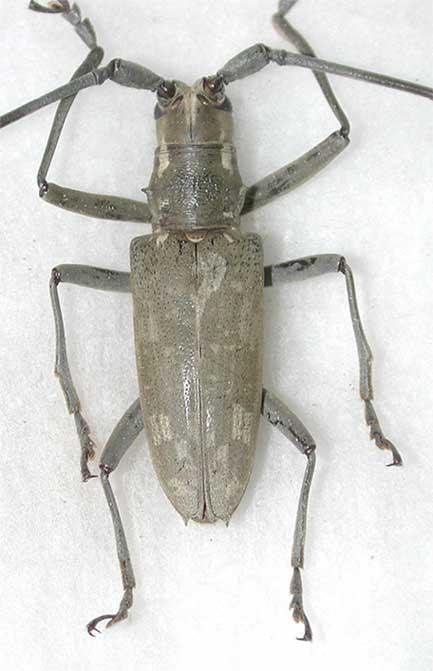 オキナワキボシカミキリ